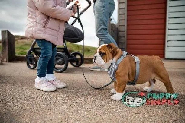Little Girl Walking British Bulldog best dog harness to stop pulling