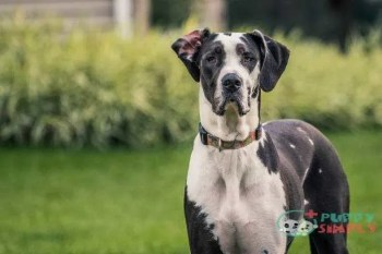 Black and white Great Dane staring at camera how much do great danes cost
