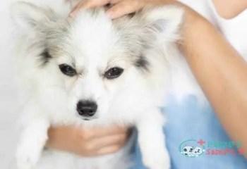Closeup cute pomeranian dog in woman hand holding Pomeranian adult