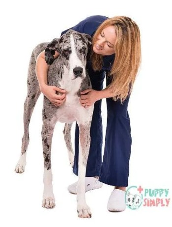 Woman Veterinary Doctor Nurse with Great Dane Dog on White Great Dane Potential Health Issues