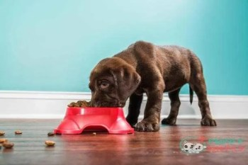a chocolate labrador puppy eating from a pet dish - 7 weeks old - dog feed s and pictures how much food does my dog need