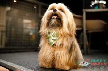 dog wearing bandanas - lhasa apso s and pictures Lhasa Apso