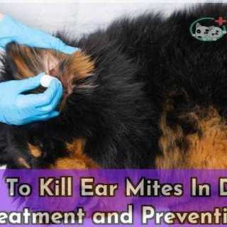 How To Kill Ear Mites In Dogs Treatment and Prevention