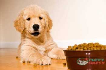 Best Puppy Food For Golden Retrievers: Wet Or Dry?