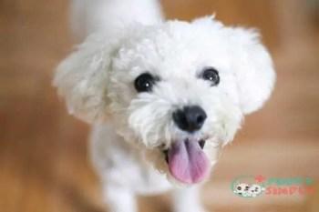 Bichon Frise toy dog breeds