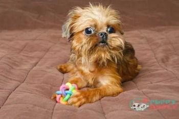Brussels Griffon toy dog breeds