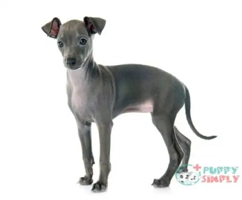 Italian Greyhound toy dog breeds