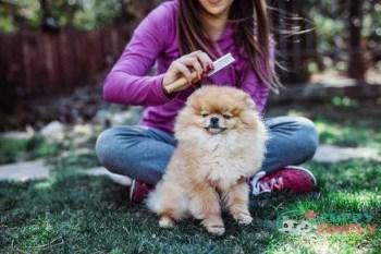 Pomeranian toy dog breeds