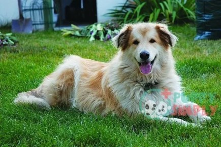 Goberian mixed dogs breeds