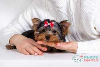 small lap dog Yorkshire Terrier