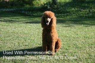 Black Pine AKC Standard Poodles