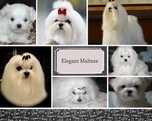 Elegant Maltese