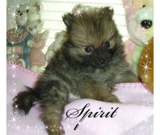 Laura's Precious Pomeranians