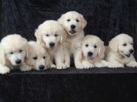 Perfect Peace English Golden Retrievers