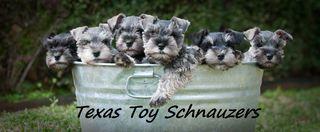Texas Toy Schnauzers