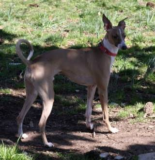Carolina Sighthound Rescue