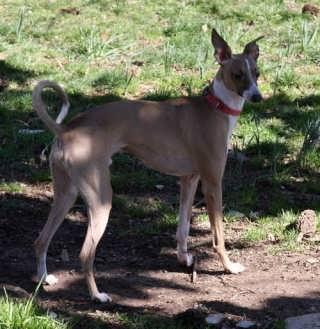Carolina Sighthound Rescue