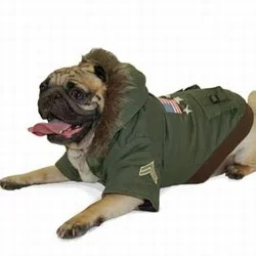 pug wearing dog jacket