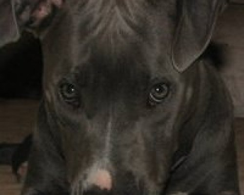 Blue Nosed Pit Bull