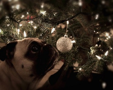 pug looking at a christmas ball