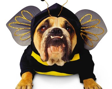 bulldog dressed as a bee