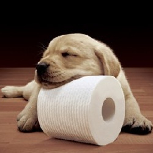Labrador and toilet paper