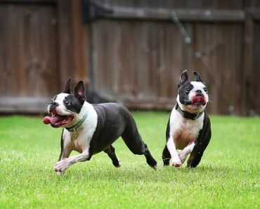 Boston Terrier Dog Breed Information and Photos