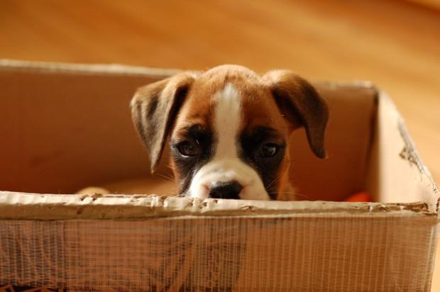 Boxer_Dog_8