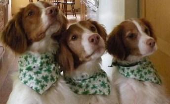 Irish Dogs 3
