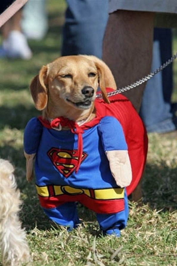 I think we've all been there. All of us have put our dogs in adorable costumes and all of us have laughed our tails off at what we saw. As long as it's not abusive and inappropriate I think that even dogs can appreciate their own looks when wearing costumes. So we decided to gather up 20 amazingly cute and funny pictures of dogs in costumes.