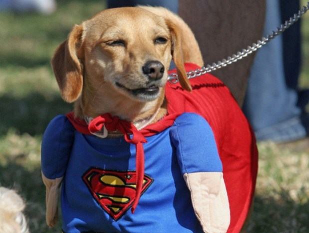 Bambi, a Daschund mix, is dressed as Sup