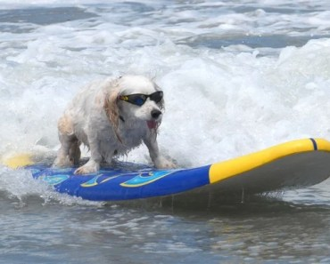 Awesome Pictures of Dogs Surfing