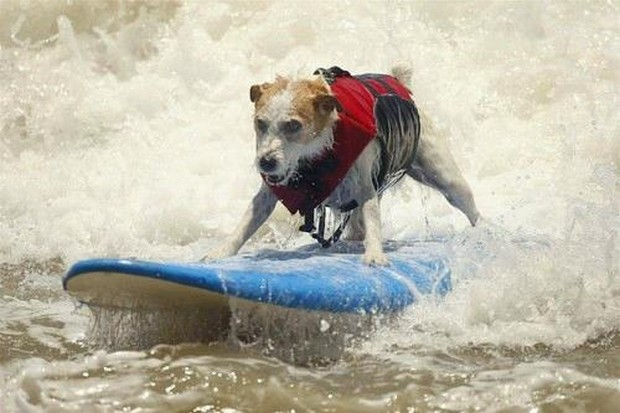 Surfing_Dogs_7