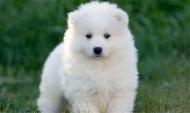 samoyed_dog_10