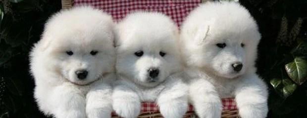 Dog Breed of the Day:  The Samoyed Dog