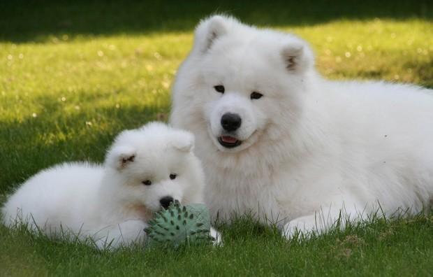 samoyed_dog_3
