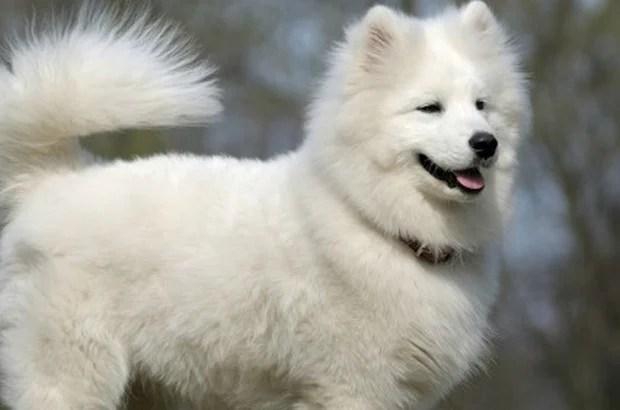 Samoyed dog - snow-white miracle of North