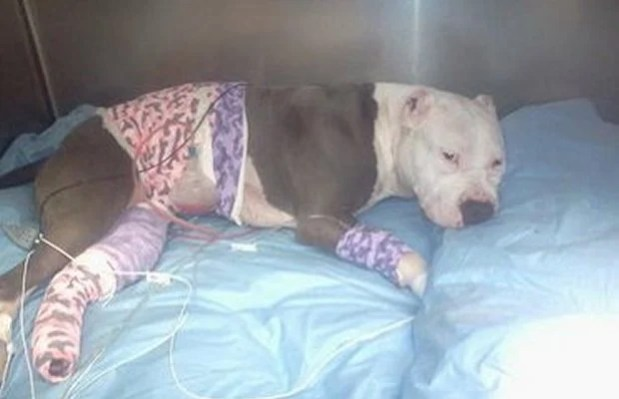 wounded-pit-bulljpg-b4e93955a33c50ea