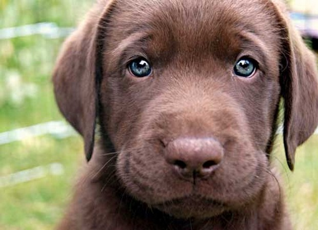 Blue_Eyed_Dogs_2