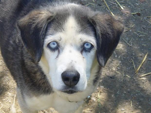 Blue_Eyed_Dogs_4