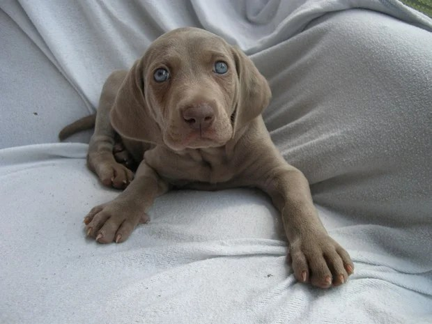 Blue_Eyed_Dogs_5