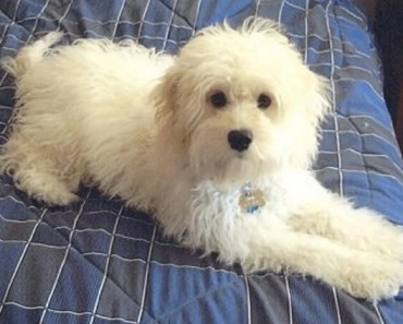 Dog Breed of the Day:  Cockapoo