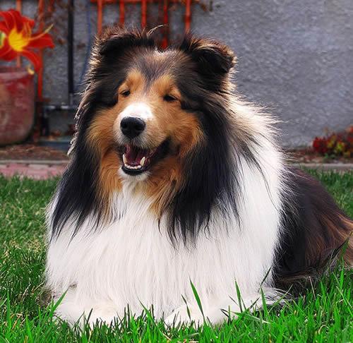 Shetland_Sheepdog