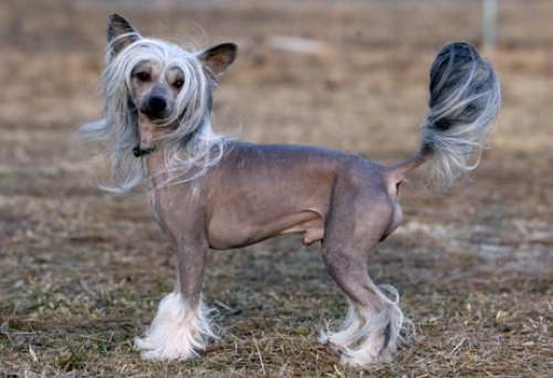 chinese_crested