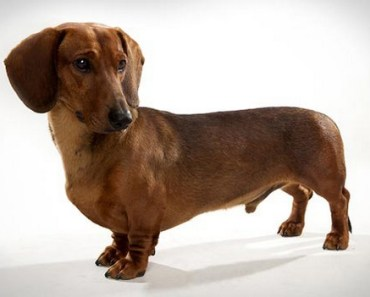 Dog Breed of the Day: Dachshund