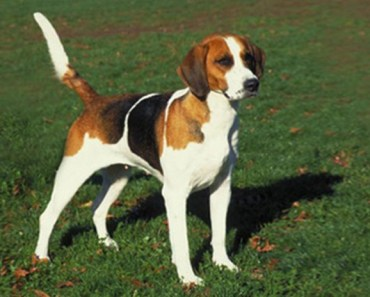 Dog Breed of the Day: English Foxhound