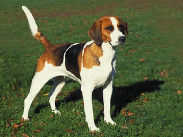 english-foxhound_1
