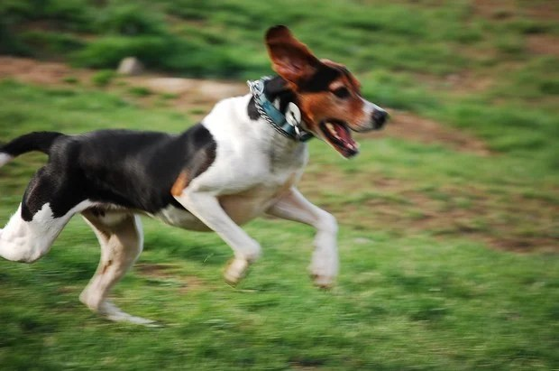 english-foxhound_5