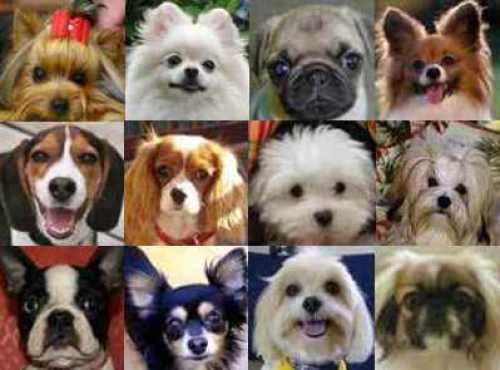 popular-small-dog-breeds