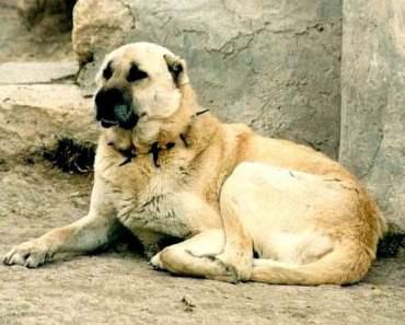 Dog Breed of the Day:  Kangal Dog
